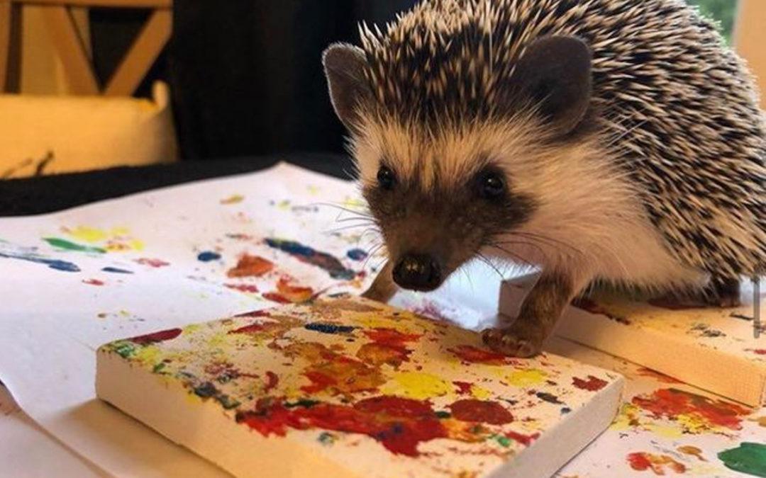 Charlie the pygmy hedgehog
